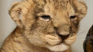Lion cub leads ranger to dead mother | Why Nature Matters | Scoop.it