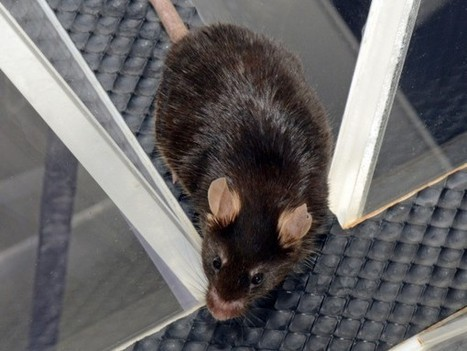 Human speech gene can speed learning in mice - Science Now   Genetic engineering and Human genetics, background reading and resources for IB   Scoop.it