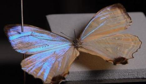 Un papillon solaire | EntomoNews | Scoop.it