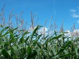 Monsanto: le roi des OGM devient lui-même transgénique | Chimie verte et agroécologie | Scoop.it