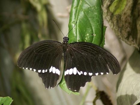 Voilier mormon - Papilio polytes - Papillon asiatique | Fauna Free Pics - Public Domain - Photos gratuites d'animaux | Scoop.it