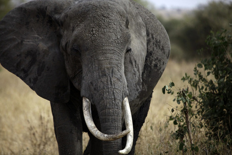 Brainy Elephants: One More Way They're as Smart as Humans - TIME | Science and Biotechnology | Scoop.it
