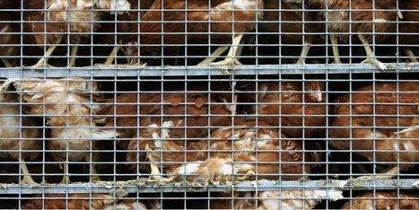 La grippe aviaire réapparaît aux Pays-Bas | Agriculture en Dordogne | Scoop.it