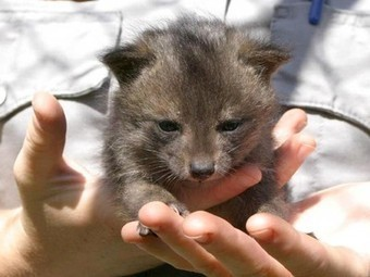 'Dwarf' foxes, saved from extinction, make an incredible recovery | fox | Scoop.it