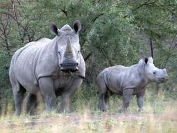 """TV Show """"Numbers""""? No, real life Mathematicians seek formula to save rhino 