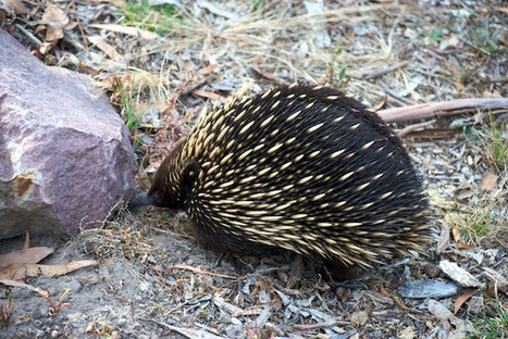 #263 Why did the echidna cross the road? | This gives me hope | This Gives Me Hope | Scoop.it
