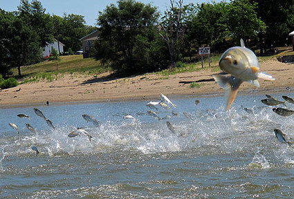 Battle plan is urged in effort to kill off invasive Asian carp | Fish Habitat | Scoop.it