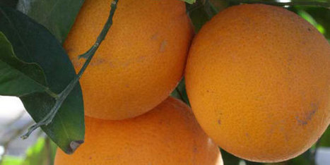 Citrus ID: Home | Archaeobotany and Domestication | Scoop.it