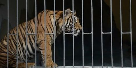 Le commerce illégal, en hausse, reste la première menace pour la survie du tigre | Biodiversité | Scoop.it