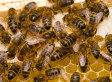 'Zombie Bees' Conquer New Territory | Teacher Tools and Tips | Scoop.it