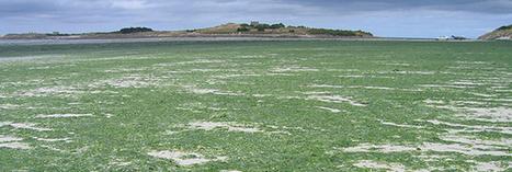 Le retour des algues vertes en Bretagne | Toxique, soyons vigilant ! | Scoop.it