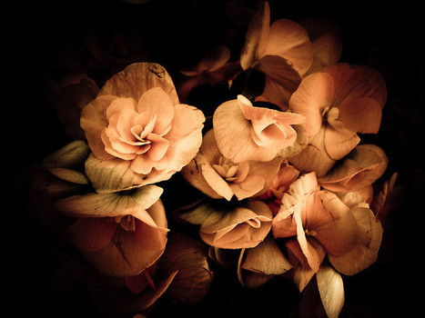 Peach Begonia Flowers - Flora Photography by Chantal PhotoPix | fine art photography | Scoop.it