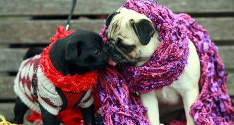 Pugs wrap up warm for winter | Food for Pets | Scoop.it