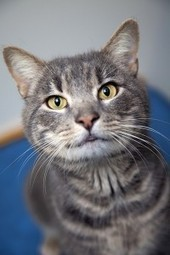 Queens Our City Radio Featured Cat For Adoption – Frittata (FIV +) (Brooklyn) | Queens Our City Radio Featured Cat For Adoption | Scoop.it