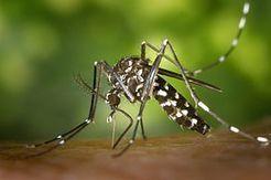 Pas de moustique tigre dans les zones humides, plutôt dans les zones urbaines ! | Zones Humides | Zones humides - Ramsar - Océans | Scoop.it