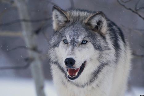 Le chien, ce loup qui a appris à digérer l'amidon | World Neolithic | Scoop.it