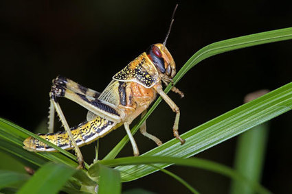 Engineers to use cyborg insects as biorobotic sensing machines | Vous avez dit Innovation ? | Scoop.it