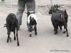 Isangi: début de la campagne de vaccination de petits bétails et volailles | Radio Okapi | CONGOPOSITIF | Scoop.it