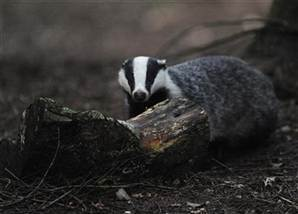 Scientists attack planned British badger cull - NBCNews.com | SFFWRTCHT | Scoop.it