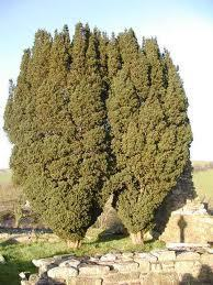 Literature Magic: Yew Trees - by William Wordsworth | flânerie | Scoop.it
