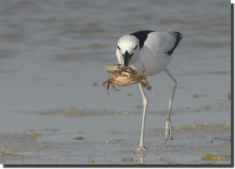 UAE birding | Birds in the United Arab Emirates | Scoop.it