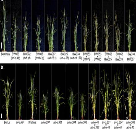 Best of Plants 2014: From Phenotype to Genotype and Back Again, great strides in plant breeding tools | Plant Biology Teaching Resources (Higher Education) | Scoop.it