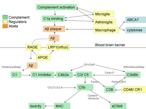 ScienceDirect.com - Immunobiology - Complement activation as a biomarker for Alzheimer's disease | Complement | Scoop.it