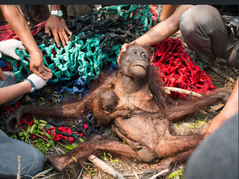 Orangutans 'will be extinct within 10 years' | Oceans and Wildlife | Scoop.it