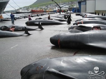 #SeaShepherd Conservation Society :: And the Bloodlust Continues in the #Faroe Islands... | Rescue our Ocean's & it's species from Man's Pollution! | Scoop.it
