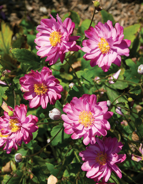 New Varieties for 2013 > National Home Gardening Club   Annie Haven   Haven Brand   Scoop.it