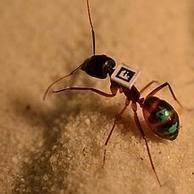 Las hormigas marchan por orden de edad | mishormigas.wordpress.com | Scoop.it