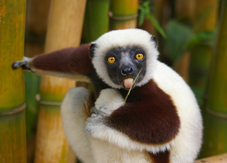 Wide-eyed lemurs on the web | ANIMAL LATITUDE NEWS | Scoop.it