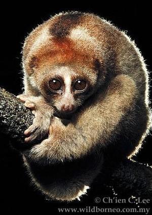 Identifican tres especies de primates venenosos.   El origen de la vida y el origen del ser humano.   Scoop.it