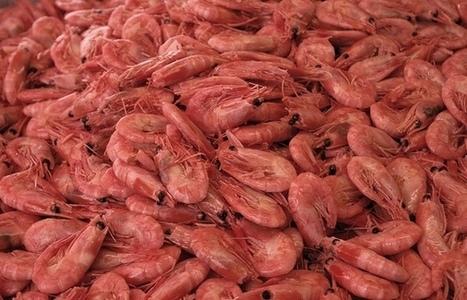 Shrimp farming looking to battle trans-continental disease | Aquaculture Directory | Aquaculture Directory | Scoop.it