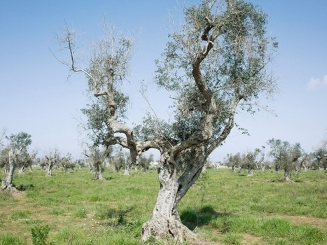Italian scientists under investigation after olive-tree deaths | Plant Biology Teaching Resources (Higher Education) | Scoop.it