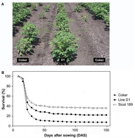Field resistance to Fusarium oxysporum and Verticillium dahliae in transgenic cotton expressing the plant defensin NaD1 | cotton disease | Scoop.it