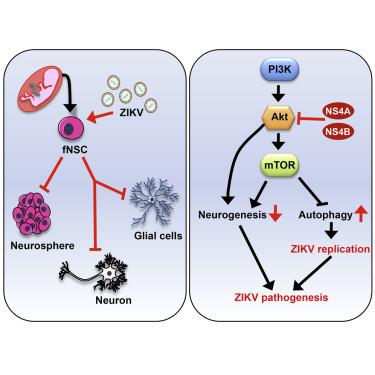 Comment le virus Zika perturbe la formation des neurones - La Recherche (abonnés)   EntomoNews   Scoop.it