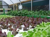 In Wake of Recession, Two Food Evangelists in Search of Sustainable Business Launch Aquaponic Farm | Vertical Farm - Food Factory | Scoop.it