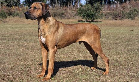 Rhodesian Ridgeback Dog Breed Information | Three Things | Scoop.it