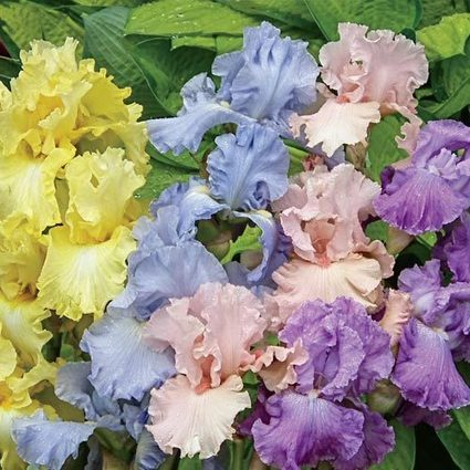 Pastel Iris Mix Iris | Springhill Nursery | Scoop.it