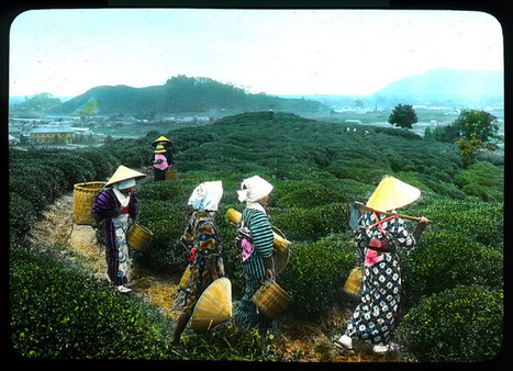 19 Interesting Colorized Pictures Show the Tea Production Stages in Japan in the early 1900s | Coffee News | Scoop.it