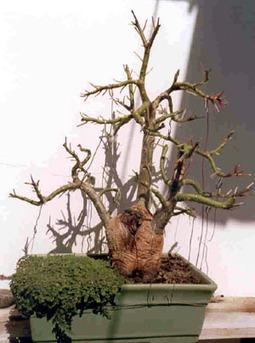 Trabajos de Bonsai: Ombú | Los bonsai | Scoop.it