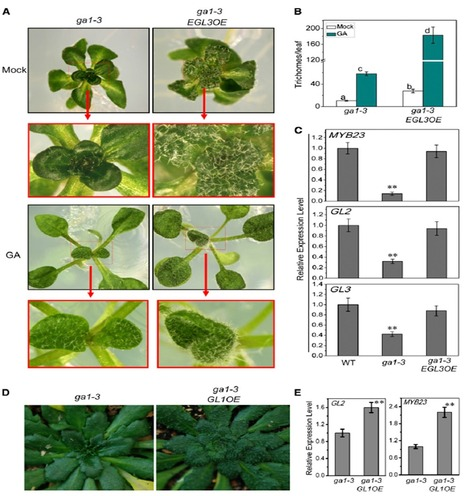 Arabidopsis DELLA and JAZ Proteins Bind the WD-Repeat/bHLH/MYB Complex to Modulate Gibberellin and Jasmonate Signaling Synergy (The plant cell 2014) | jasmonate | Scoop.it