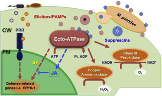 The plant cell wall as a site for molecular contacts in fungal pathogenesis | Extracellular ATP and ectoapyrase in plants | Scoop.it