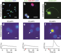 [Protocols] In vitro imaging of primary neural cell culture from Drosophila | Neuroscience_technics | Scoop.it