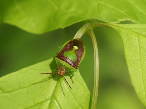 Photos de Punaises : Punaise diminuée - Banasa dimiata - Banasa dimidiata - Banasa stink bug | Fauna Free Pics - Public Domain - Photos gratuites d'animaux | Scoop.it