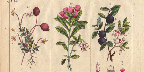 A Brief Medical History Of The Cranberry | Teacher Tools and Tips | Scoop.it