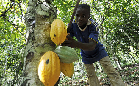 World's chocolate supply under threat from drought in Ghana and nasty fungus | Everything Chocolate | Scoop.it