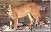 Mountain Lion Danger and Defense against Attack | Brian's Science and Technology | Scoop.it