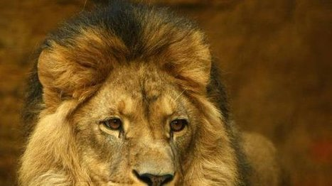 United States Fish and Wildlife Service: Classify the African Lion as an Endangered Species so it can be protected by The Endangered Species Act to save other lions from suffering Cecil's tragic fate. | ~ADVOCATING FOR ALL ANIMALS~ | Scoop.it